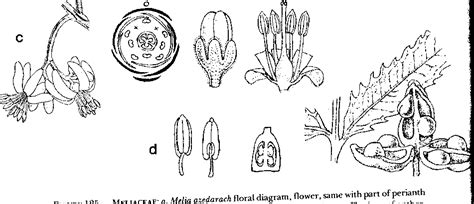 Anacardiaceae Diagram Of The Flower Floral by Materials Of A Shipunov