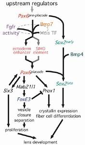 An Expanded Model For The Genetic Pathways Regulating Lens