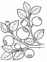 Blueberry Coloring Printable Berries Template Sketch Mycoloring Fruits Recommended sketch template