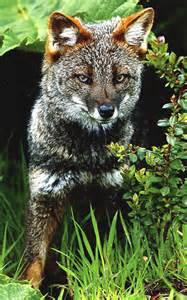 Darwin's Fox Endangered