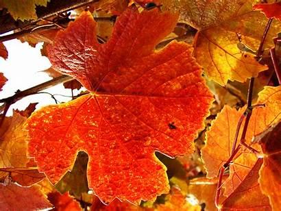 Leaves Autumn Tea Vineyard Basics Wallpapersafari Code