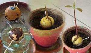 Comment Faire Pousser Des Avocats : mad gardener blog sur les jardins les fleurs les papillons et la nature mc nautes ~ Melissatoandfro.com Idées de Décoration
