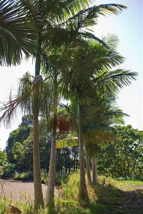 good  australian palms palms  australia