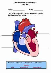 The Human Heart Worksheet By Robbirdy84