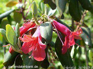 Wann Blüht Der Rhododendron : zinnoberroter rhododendron rhododendron cinnabarinum schneiden pflege pflanzen bilder fotos garten ~ Eleganceandgraceweddings.com Haus und Dekorationen