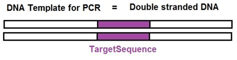 Pcr Template Amount by What Is Needed To Lify A Segment Of Dna