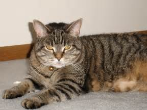 tabby cat breeds the types of tabby coat patterns 1 800 petmeds cares