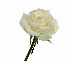 Fleur Rose Et Blanche : rose akito blanche livraison de roses blanches ~ Dallasstarsshop.com Idées de Décoration