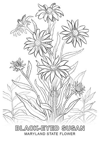 maryland state flower coloring page  printable
