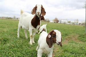 Dozens of baby goats - kids - jumping, yelling and playing ...