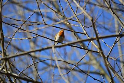 Twigs Robins Wildlife Px Flying Oak Birds