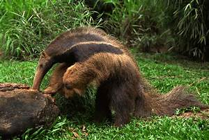 Myrmecophagidae - anteaters | Wildlife Journal Junior