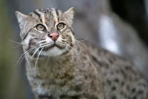 fishing cat fishing cat wikiwand