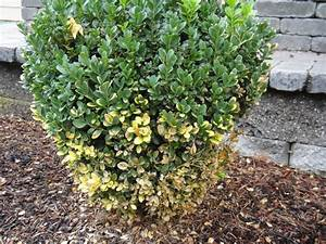 Buchsbaum Befall Raupen : buchsbaum krankheiten bekmpfung schdlinge und krankheiten am buchs nun zu den schdlingen und ~ Watch28wear.com Haus und Dekorationen