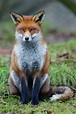 Red fox - Wikipedia