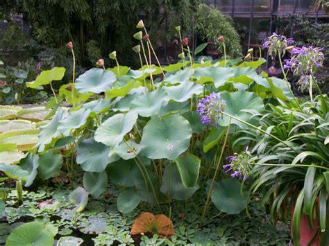 Krebsschere Teichpflanze