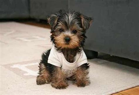 small dogs that do not shed tag for small breeds that don t shed litle pups