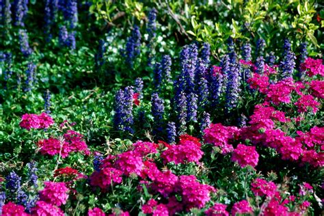 colorful ground cover ajuga offers colorful groundcover qualities mississippi