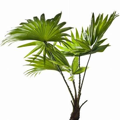 Palm Tree Leaves Tropical Plant Border Palmetto