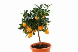 Bäume Für Drinnen : orangenbaum pflanzen die wichtigsten pflanztipps im ~ Michelbontemps.com Haus und Dekorationen