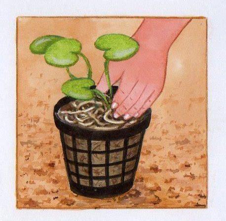 planter des jacinthes en pot 28 images comment conserver et quand replanter les jacynthes
