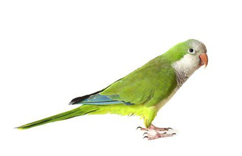 quaker bird quaker parrot monk parakeet facts diet lifespan pet care pictures