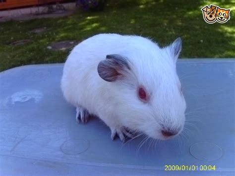 black himalayan guinea pigs  sale staines