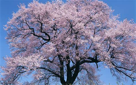 cherry blossom tree l japan big cherry blossom tree desktop background hd