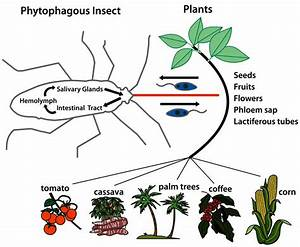 Life Cycle And Transmission Of Phytomonas Spp  Parasites Ingested By