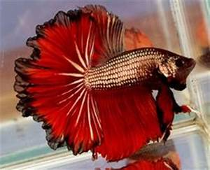 Rare Betta Fish | My husband and I just ordered a ...