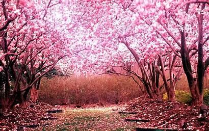 Blossom Cherry Japanese Laptop Sakura Wallpapers Backgrounds