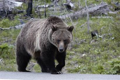 Grizzly Bear Yellowstone Wolves Filmed Elk Pack