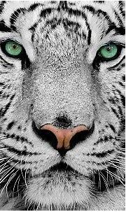 16 White Tiger Facts That Will Shock You | Facts.net