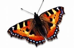 Bedeutung Schmetterling In Der Wohnung : tierwelt das schillern der schmetterlinge wissen stuttgarter zeitung ~ Watch28wear.com Haus und Dekorationen