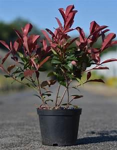 Arbuste Persistant Croissance Rapide : 25 b sta haie persistant croissance rapide id erna p ~ Premium-room.com Idées de Décoration