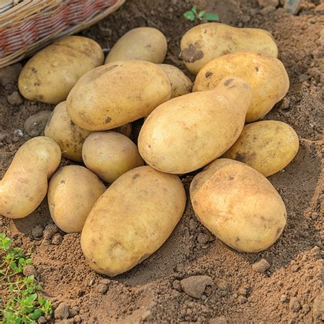 what are seed potatoes seed potato jelly d t brown seed potatoes