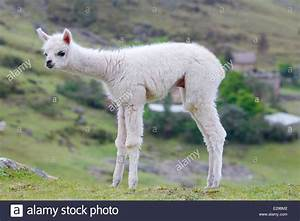 Fluffy baby alpaca in the Andes in Peru Stock Photo ...