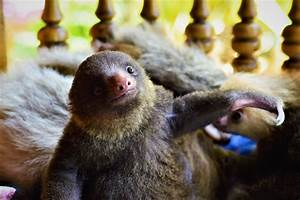 Breakfast with Baby Sloths | Sloth Tours | Costa Rica