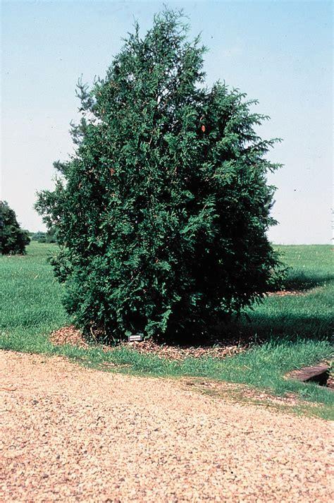 arborvitae tree file thuja occidentalis tree jpg wikimedia commons