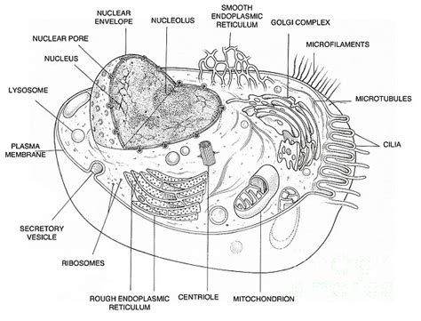 Animal Cell Diagram Greeting Card For Sale By Science Source