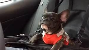 French Bulldog puppy throws cutest tantrum ever