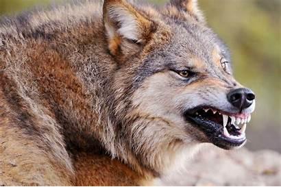 Wolves Ferocious Looking Wolf Summer 1700 2560