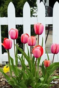Tulpen Im Garten : botanische tulpen stockfoto bild von blatt blumenblatt ~ A.2002-acura-tl-radio.info Haus und Dekorationen
