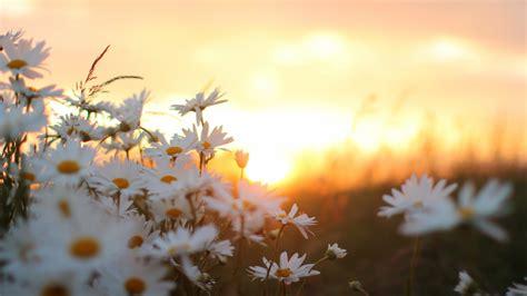 download hd white daisy flower wallpaper wallpapersbyte
