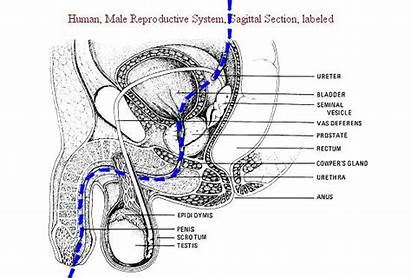 Path Urinary Kidney Urethral Males Circle Urine