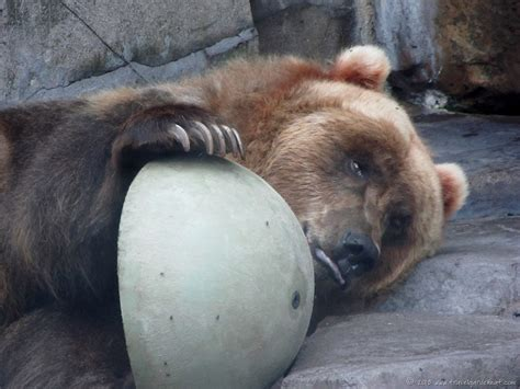 animals zoo lake entertainment cruelty superior treated did know bear loading