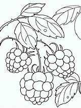 Coloring Pages Raspberries Berries Printable Fruits Mycoloring Recommended sketch template