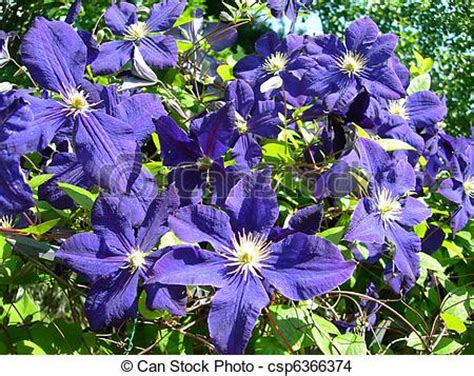 Clematis Vine Flowers In  Climbing Vine Of Purple Blue