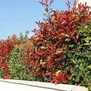 Plantes à Feuillage Persistant : arbuste feuillage pourpre persistant ~ Premium-room.com Idées de Décoration