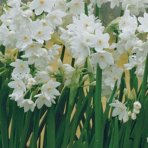narcissus plant wish list